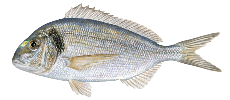 Gilt-head-sea-bream